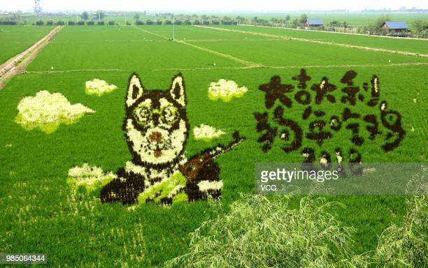 A 3D rice field painting featuring a dog with a gun is on display at a paddy field at Sibe town on June 24 2018 in Shenyang Liaoning Province of...