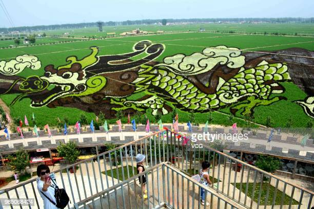 A 3D rice field painting featuring a dragon is on display at a paddy field at Sibe town on June 24 2018 in Shenyang Liaoning Province of China This...