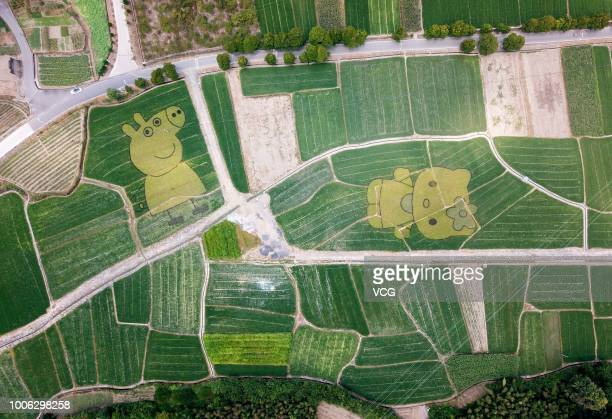 A rice field painting featuring cartoon characters 'Peppa Pig' and 'Hello Kitty' is on display at She County on July 21 2018 in Huangshan Anhui...