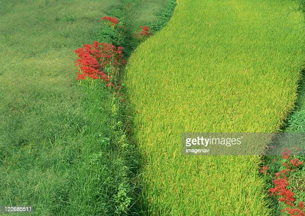 rice field - asuka stock pictures, royalty-free photos & images