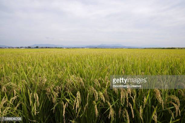 rice field - 新潟県 ストックフォトと画像