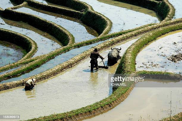 rice field - working animal stock pictures, royalty-free photos & images