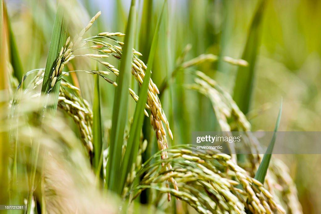 Rice field. : Stockfoto