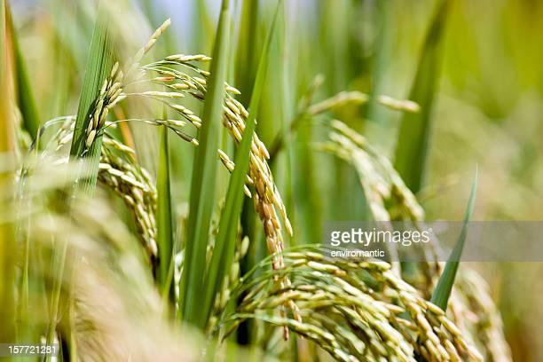 rice field. - paddy field stock pictures, royalty-free photos & images