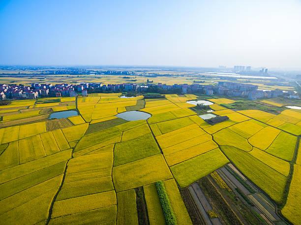 Rice Field Wall Art