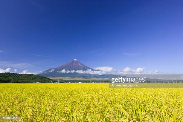 rice field - 山梨県 ストックフォトと画像