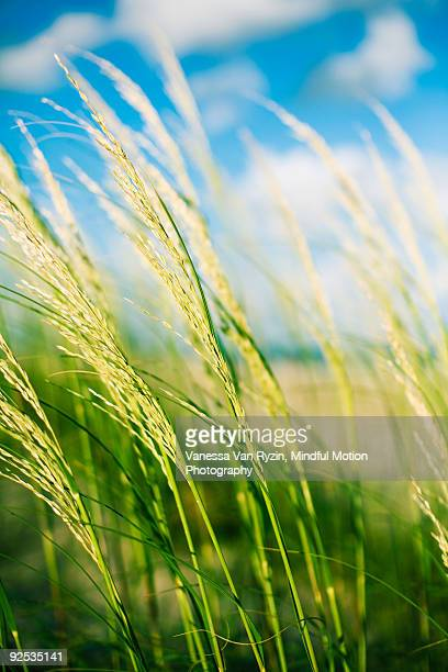 rice field - vanessa van ryzin stock photos and pictures