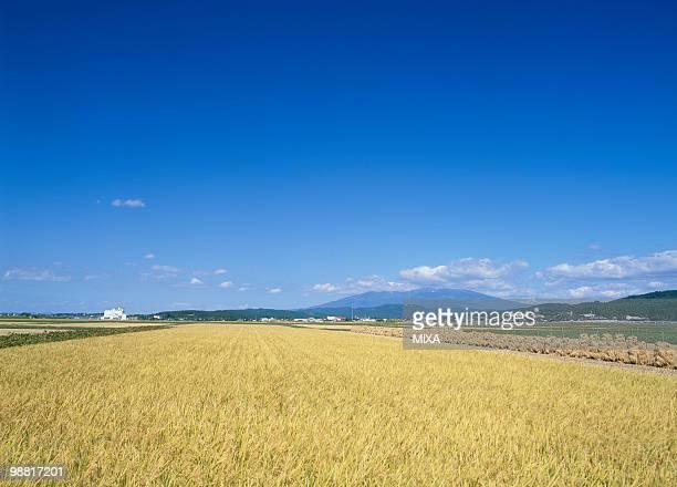 Rice Field, Sakata, Yamagata, Japan