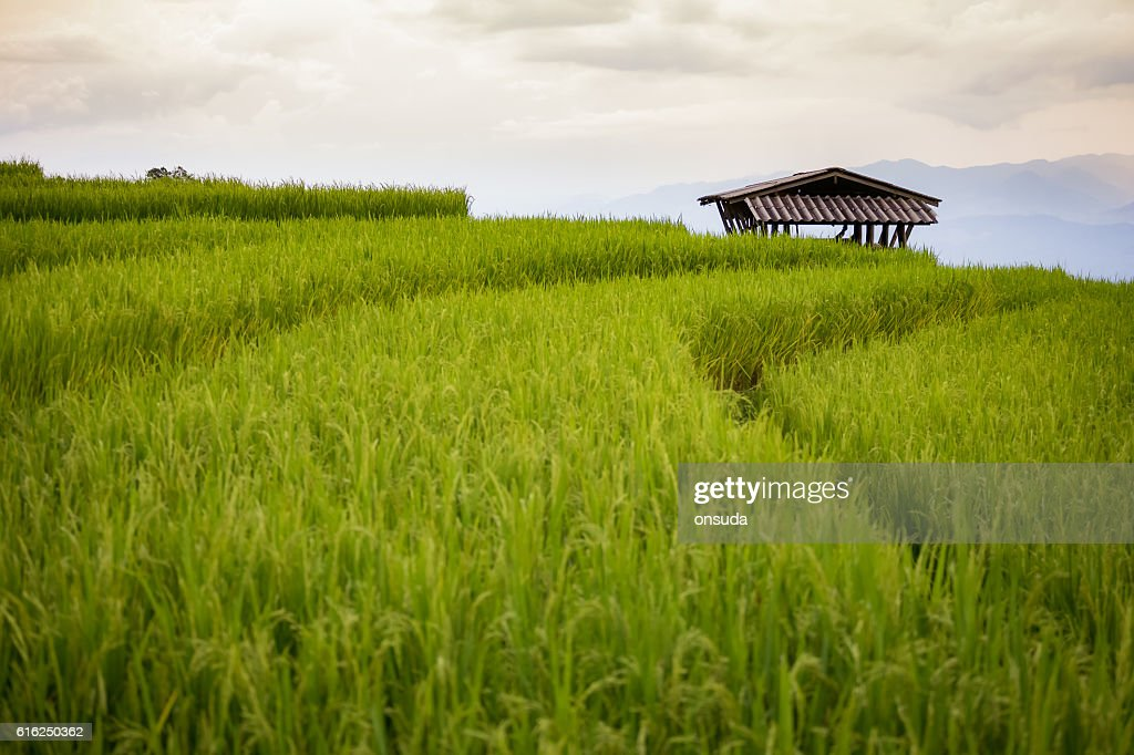 rice field scenery in Thailand : Stock-Foto