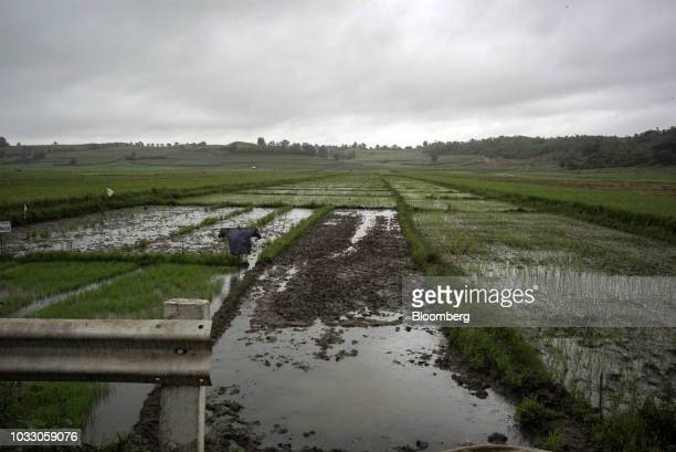 A rice field stands along a highway in Isabella province the Philippines on Friday Sept 14 2018 Philippines authorities are evacuating thousands of...
