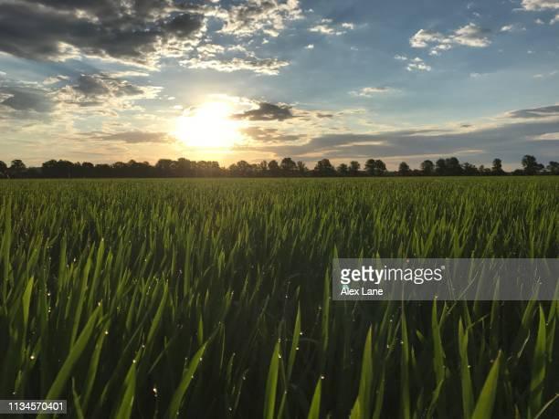 rice field sunrise - arkansas fotografías e imágenes de stock