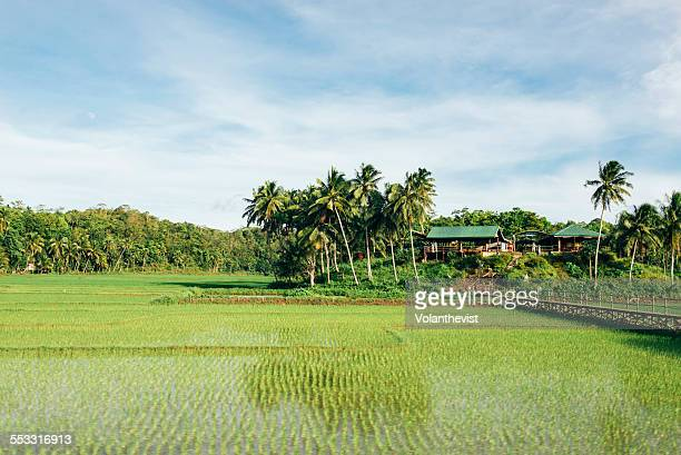 Rice field w/ palm trees in tropical Philippines