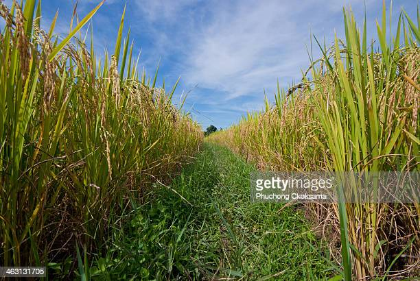 Rice field with nice sky grass pathway