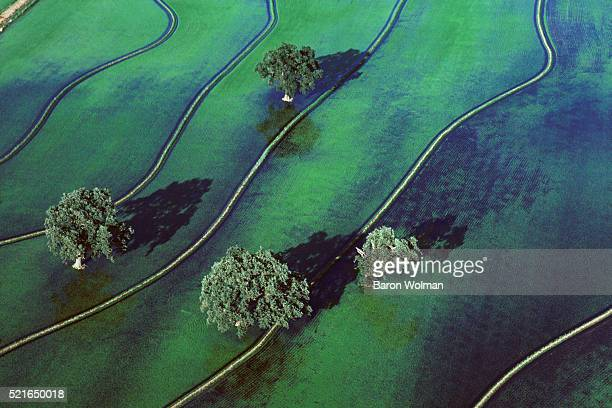 Rice field with oak trees, California, United States, circa 1970s.