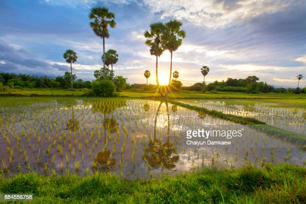 Rice field with palm tree background in morning, Thailand.