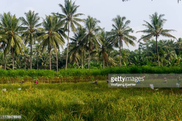 A rice field with papaya plants and coconut palm trees near Borobudur Temple located in central Java Island Indonesia