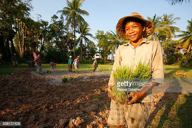 A rice field worker holding rice stalks