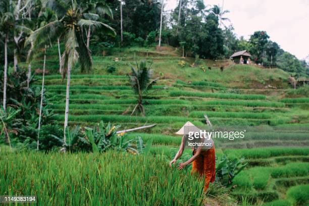 rice field workers in indonesia - paddy field stock pictures, royalty-free photos & images