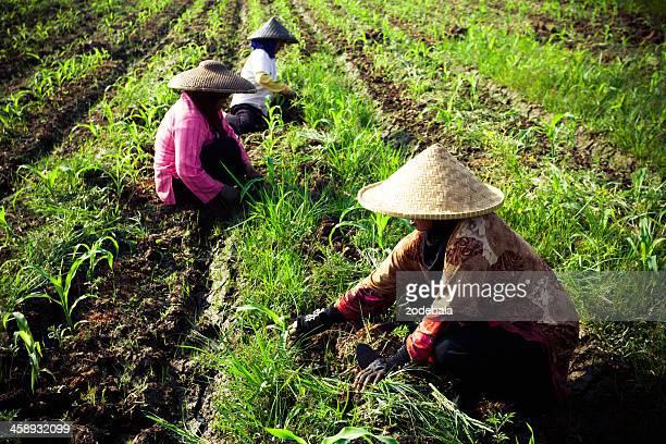 arroz campo de trabajadores en java, indonesia - java indonesia fotografías e imágenes de stock