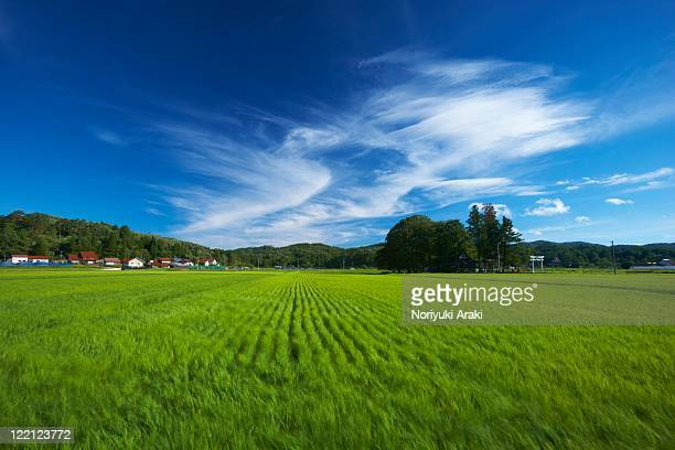 Rice fields and blue sky