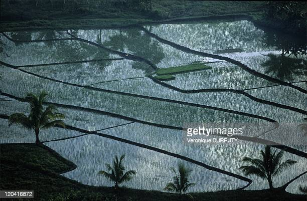 Rice fields and coconut trees Bohol island the Visayas in Philippines