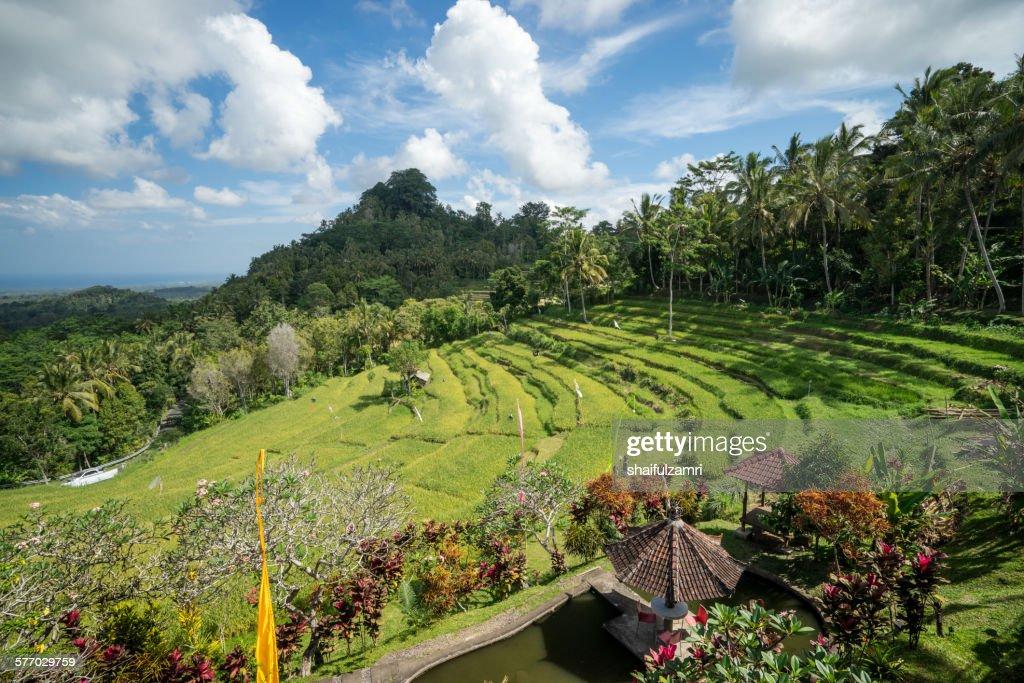 Rice fields at Bali : Stock Photo