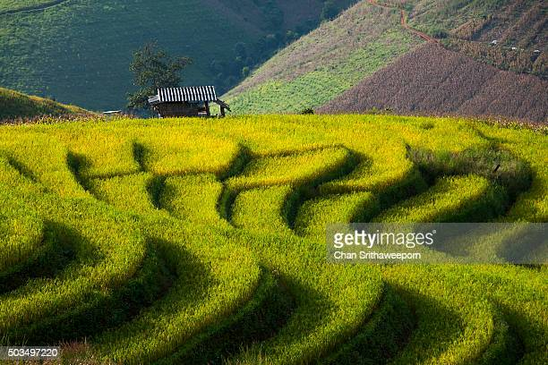 rice fields at chiang mai, thailand - reisterrasse stock-fotos und bilder