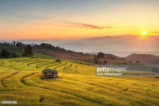 Rice Fields at Chiang Mai, Thailand