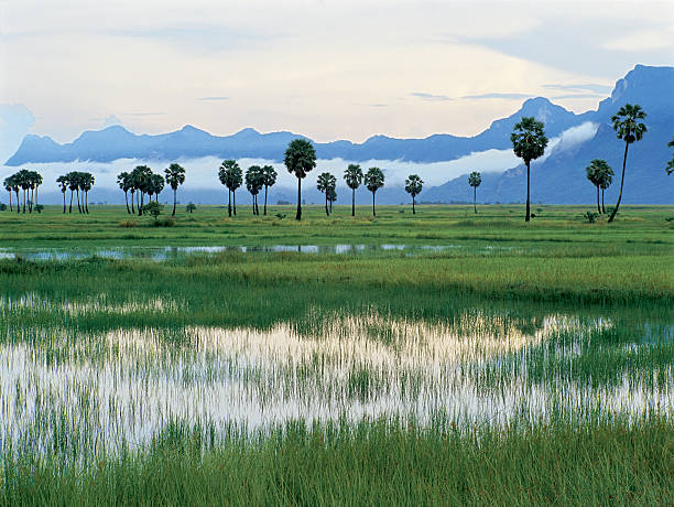 Rice fields at Khao Sam Roi Yot,Thailand, Southeast Asia.