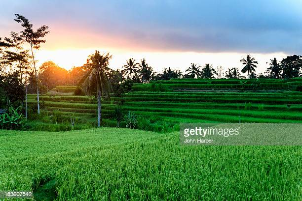 Rice fields at sunset, Ubud, Bali