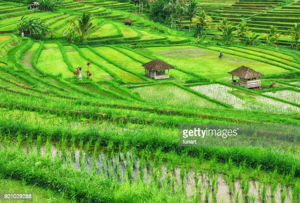 rice fields, bali, indonesia - terraced field stock pictures, royalty-free photos & images