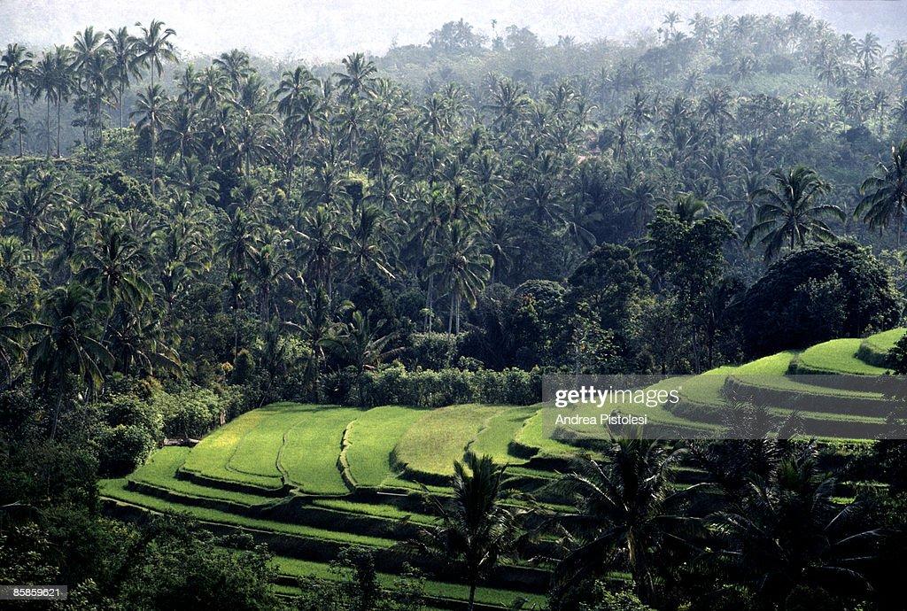 Rice Fields in Bali : Stock-Foto