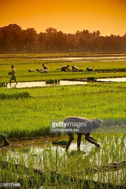 Rice Fields in Goa