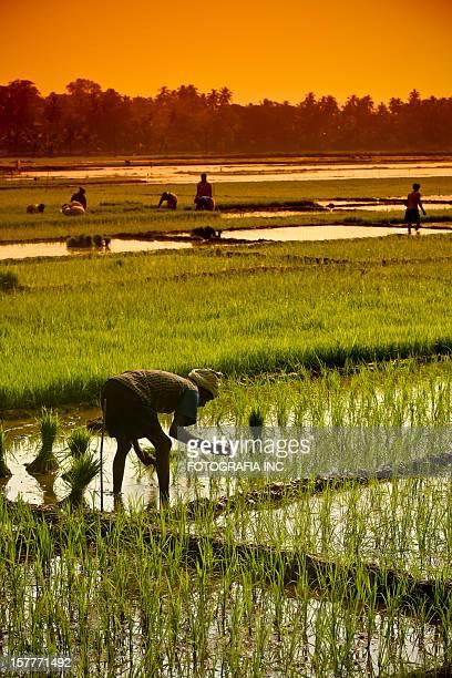Campos de arroz no golfo de Adem