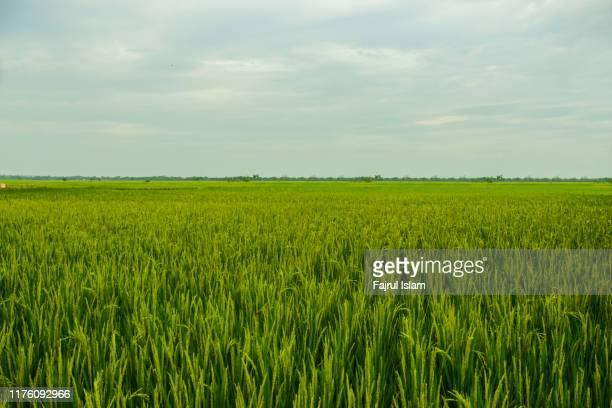 rice fields in indonesia - 水田 ストックフォトと画像