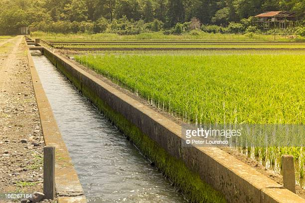 Rice fields in Japan