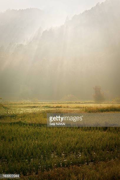 Rice fields in late autumn