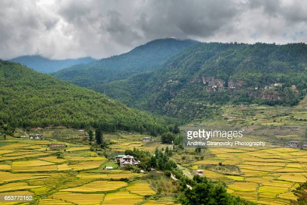 rice fields in paro - paro district stock pictures, royalty-free photos & images