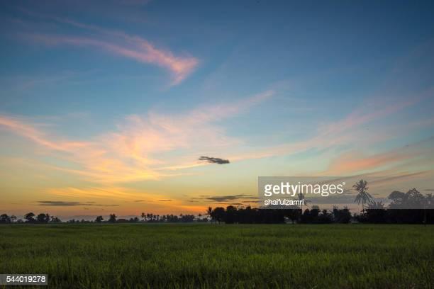 rice fields in sungai besar - shaifulzamri 個照片及圖片檔