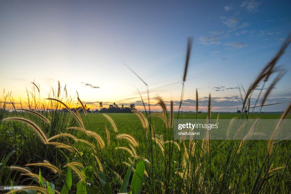 Rice fields in Sungai Besar : Stock Photo