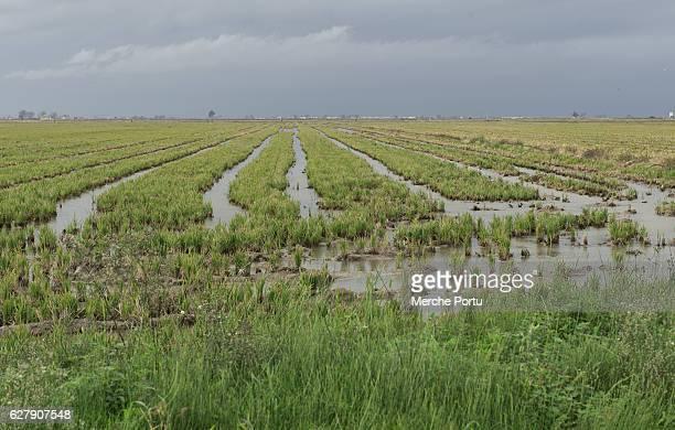 rice fields in the ebro delta - delta del ebro fotografías e imágenes de stock