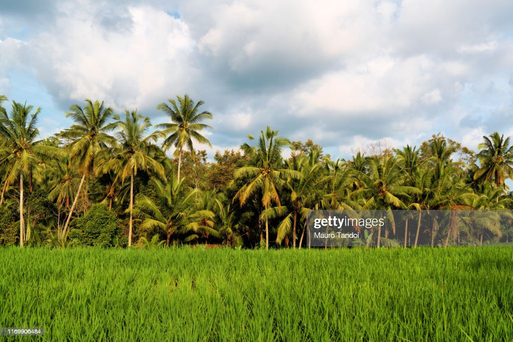 Rice fields in the surroundings of Ubud village : Foto stock