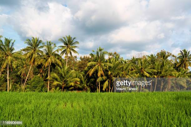 rice fields in the surroundings of ubud village - mauro tandoi stock pictures, royalty-free photos & images