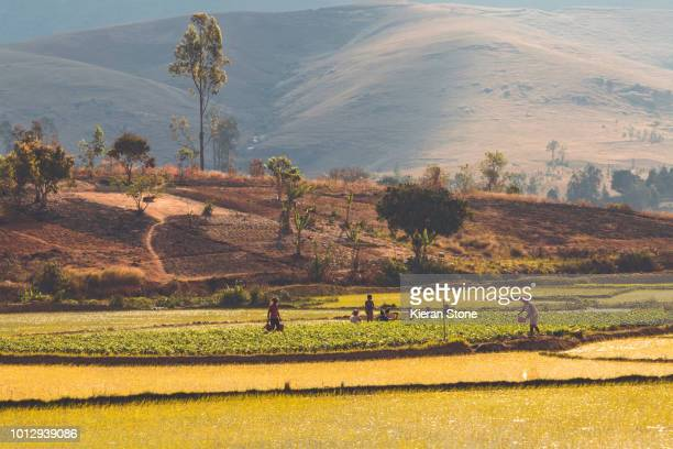 rice fields madagascar - african tribal culture stock pictures, royalty-free photos & images