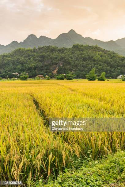 rice fields near lac village, mai chau valley, vietnam. - mai chau stock pictures, royalty-free photos & images