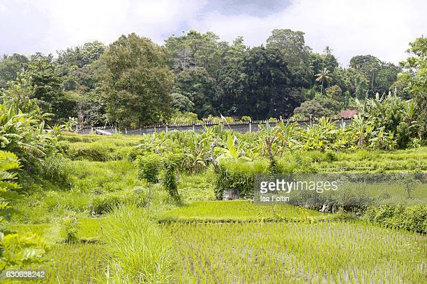 KARANGASEM BALI INDONESIA DECEMBER 23 Rice fields near the Taman Tirta Gangga Water Palace on December 23 2016 in Karangasem Bali Indonesia