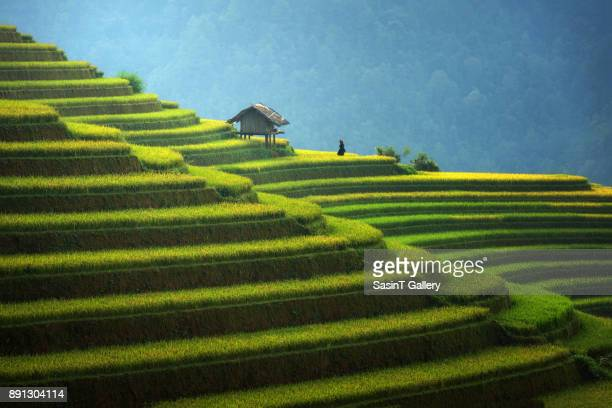 rice fields on terraced in rainny season at mu cang chai, vietnam. - vietnam stockfoto's en -beelden