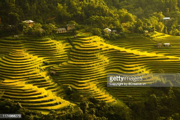 rice fields on terraced of hoang su phi, ha giang - rice terrace stock pictures, royalty-free photos & images