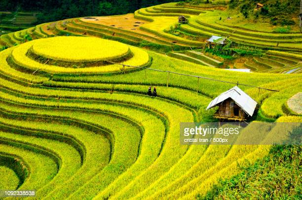Rice fields on terraced of Mu Cang Chai, vietnam