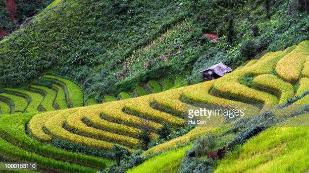 rice fields on terraced of ta xua ,son la , vietna - son la stock pictures, royalty-free photos & images